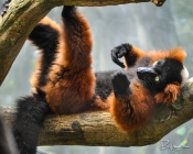 This Red-Ruffed Lemur is just hanging around while the rest of the lemurs below play about.