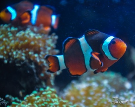 Beautiful pattern on the Clown fish.